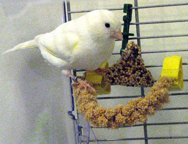 Membuat aneka macam bentuk olahan pakan biji-bijian untuk burung