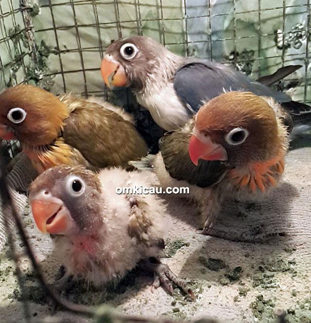 Breeding lovebird Om Benny Luwes