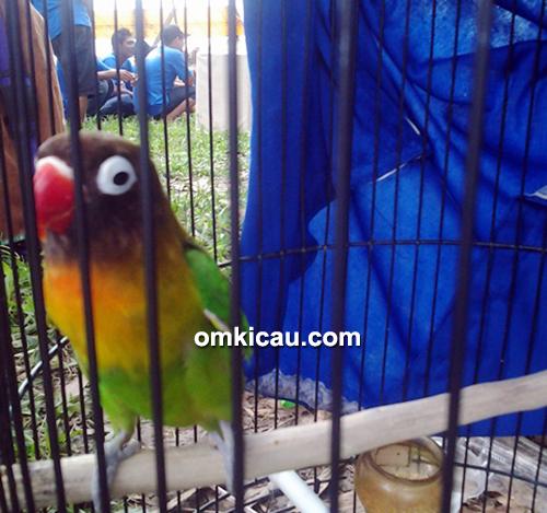 Lovebird Ratu Manggud