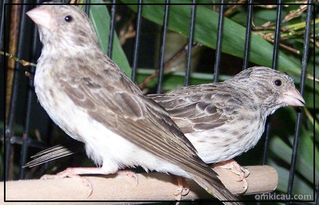 Sanger [Serinus leucopygius] yang banyak disilangkan dengan burung kenari