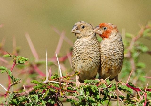 Burung jantan (kanan) dikenali dari warna merah pada kepalanya | Foto: Getty Images