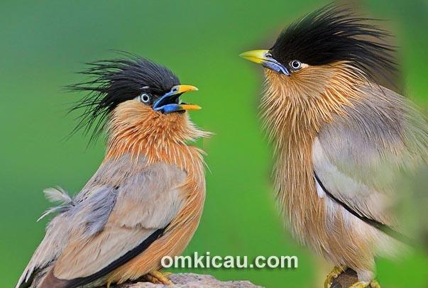 Suara brahminy starling