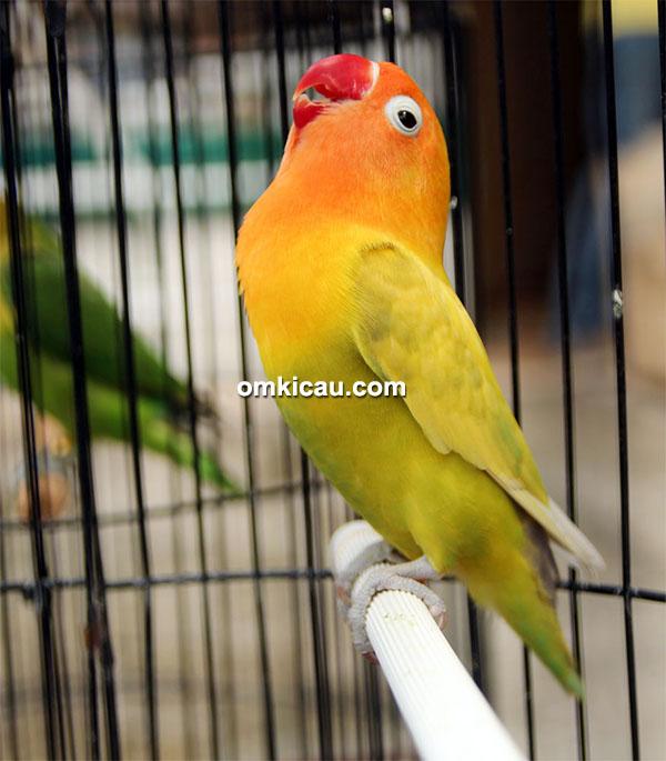 Lovebird Sekar Mayang