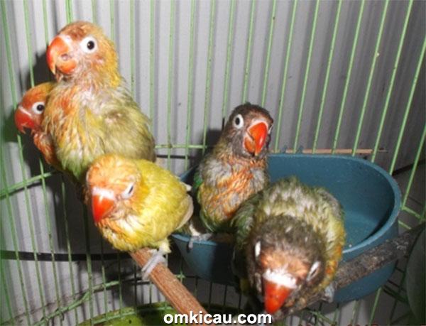 White BF Jakarta - anakan lovebird
