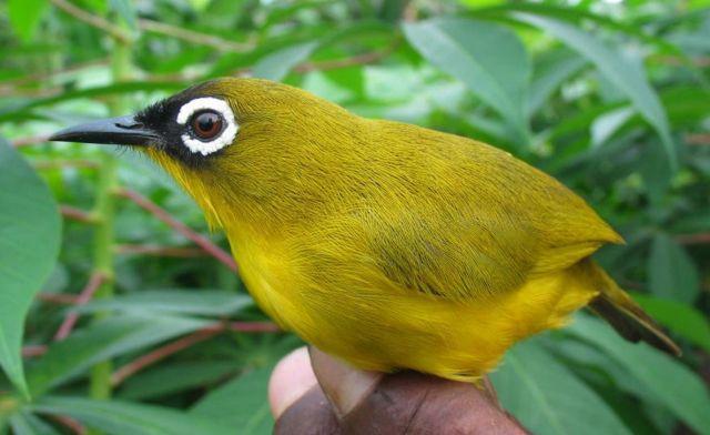 Ranongga white-eye (zosterops_splendidus)