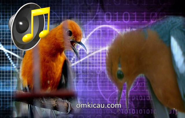 Suara burung anis merah teler untuk masteran dan pancingan