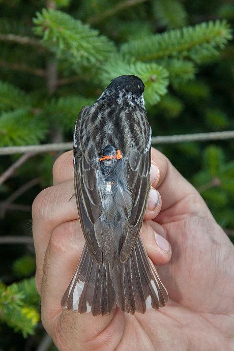 Blackpolls warbler yang telah dilengkapi dengan pemancar