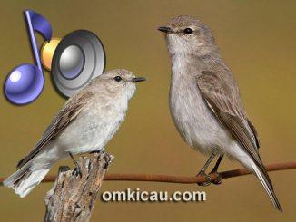 Jacky winter burung bersuara lantang untuk masteran