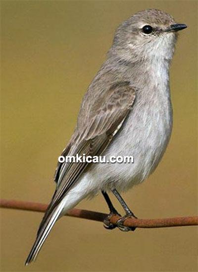burung jacky winter