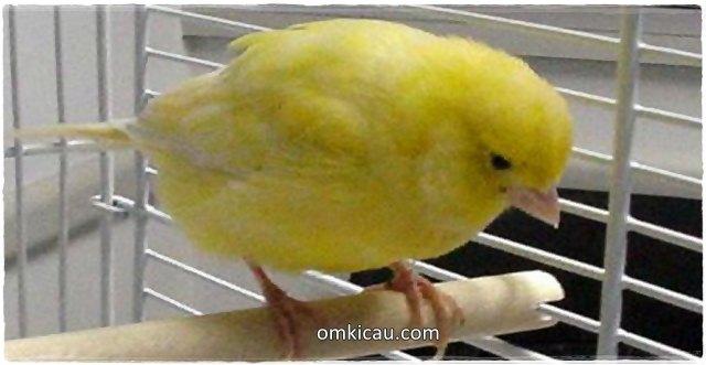 Burung peliharaan bisa sakit akibat salah pakan