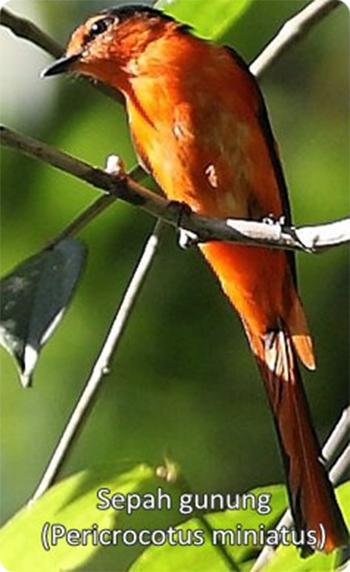 burung sepah gunung