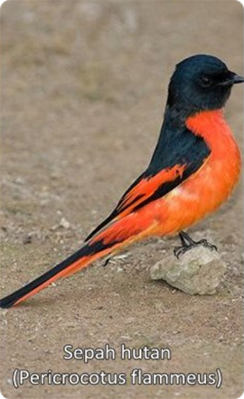 burung sepah hutan