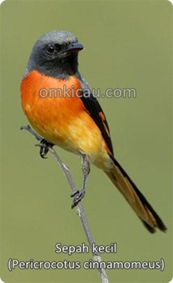 burung sepah kecil