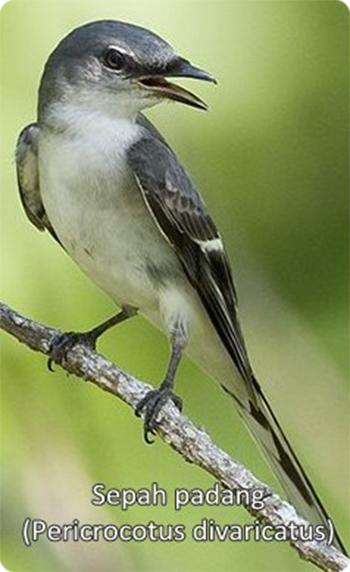 burung sepah padang
