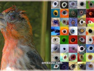 Burung peliharaan rentan alami gangguan pada matanya