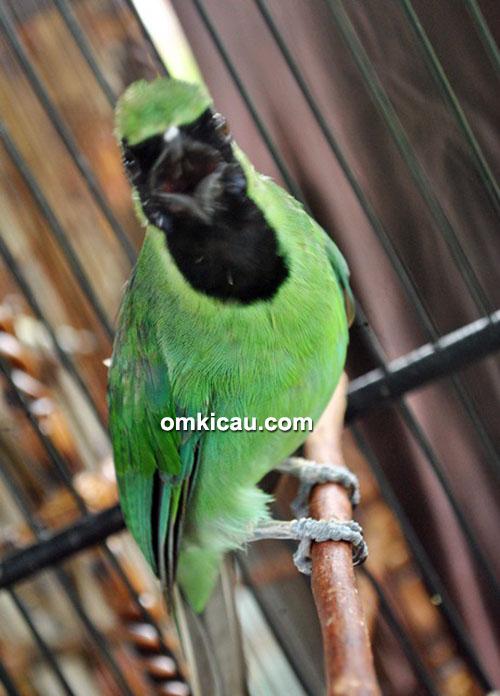 Cucak hijau Green Joss