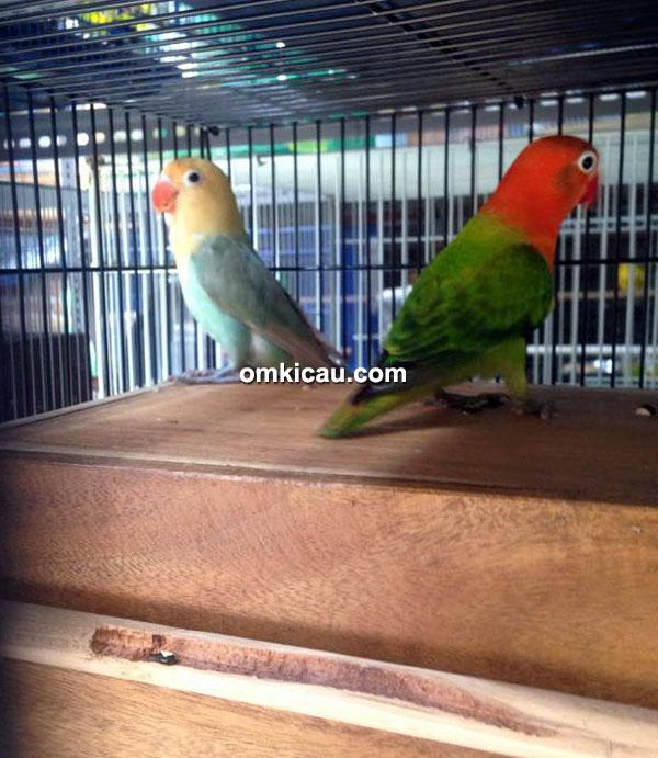 Pasangan induk lovebird parblue dan biola