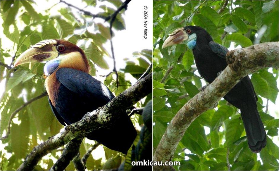 Julang sumba jantan (kiri) dan julang sumba betina yang bisa dibedakan dari warna bulu di bagian kepala dan lehernya