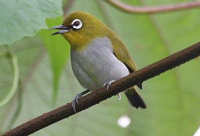 Download suara burung pleci / kacamata enggano