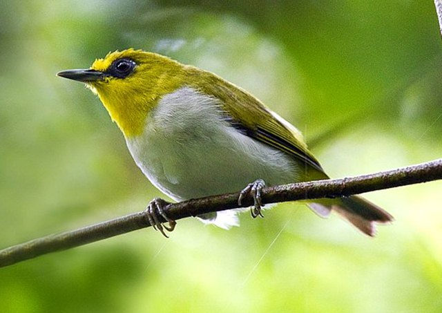 Download suara burung pleci / kacamata makassar