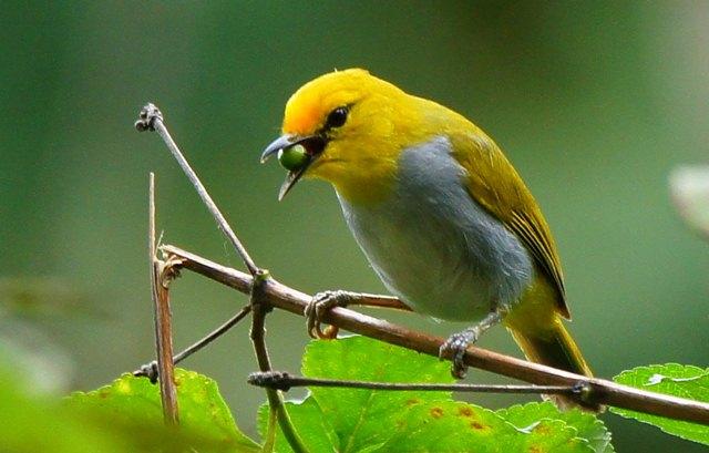 Download suara burung pleci / kacamata wallacea