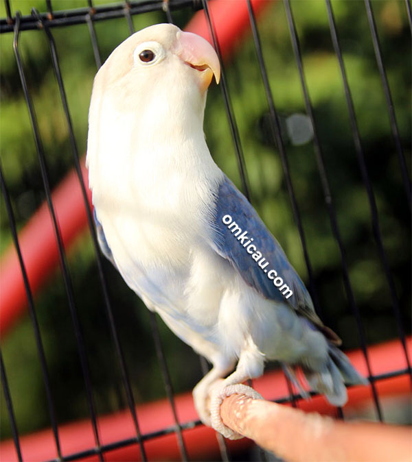 Lovebird Matso
