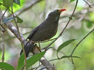 Poksai kepala botak atau Bare-headed laughingthrush (Garrulax calvus)