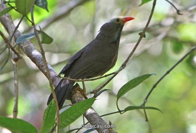 Poksai kepala botak atau Bare-headed laughingthrush (Garrulax calvus)
