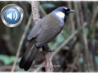 Audio kicauan poksai hongkong untuk masteran dan memancing bunyi