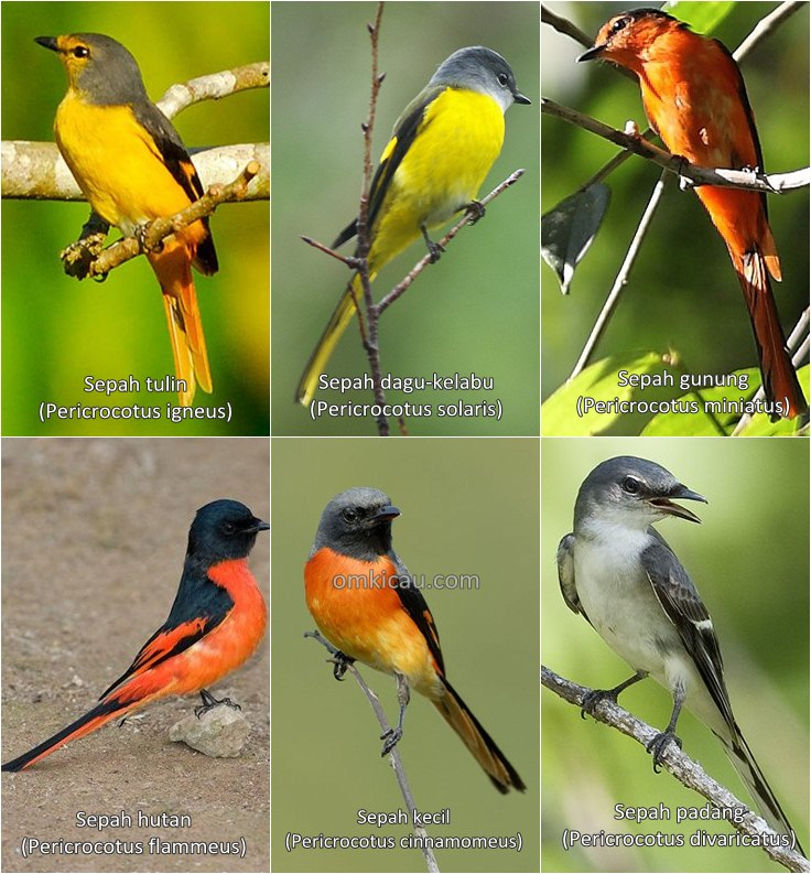 Enam spesies burung sepah dan suara kicauannya