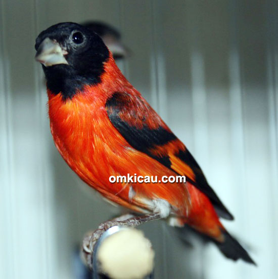 Red siskin makin digemari