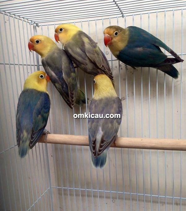 87 Gambar Lovebird Pb Vio Paling Hist