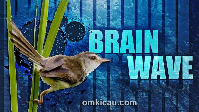 Audio brainwave untuk burung bakalan