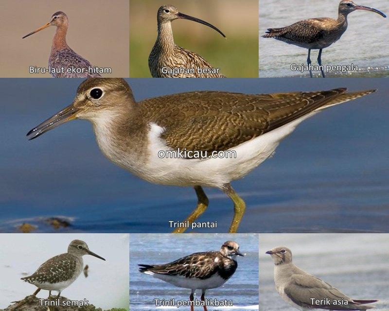 Tujuh audio burung pantai yang unik dan menarik untuk masteran