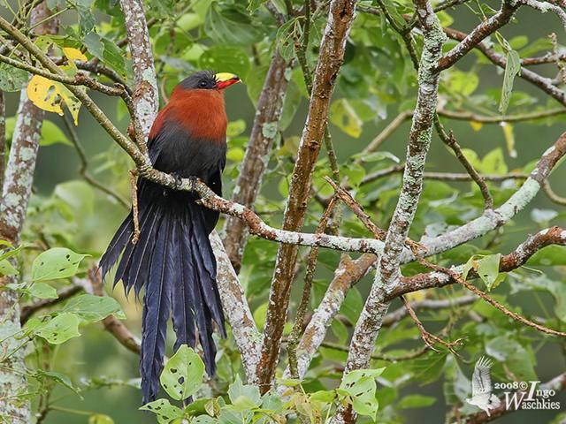 Burung kadalan sulawesi yang merupakan burungendemik Sulawesi