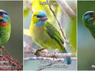 Tiga suara burung takur untuk masteran