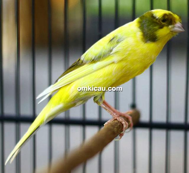 JrC Bird Farm - kenari Nagasari