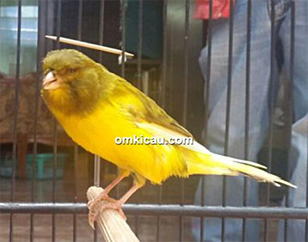Breeding kenari JrC Bird Farm - Kenari Perompak