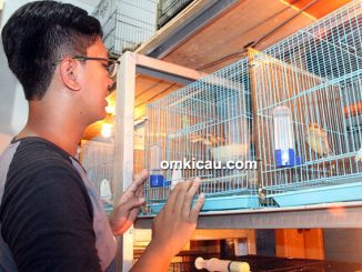 breeding kenari JrC Bird Farm