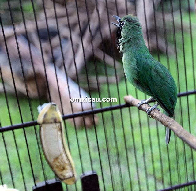 Cucak hijau Persebaya