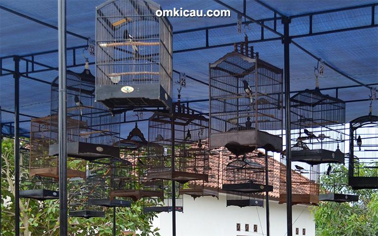 Standar Penilaian Lomba Burung Silobur Km 2016 Umum Dan Per Jenis Burung Laman 3 Om Kicau