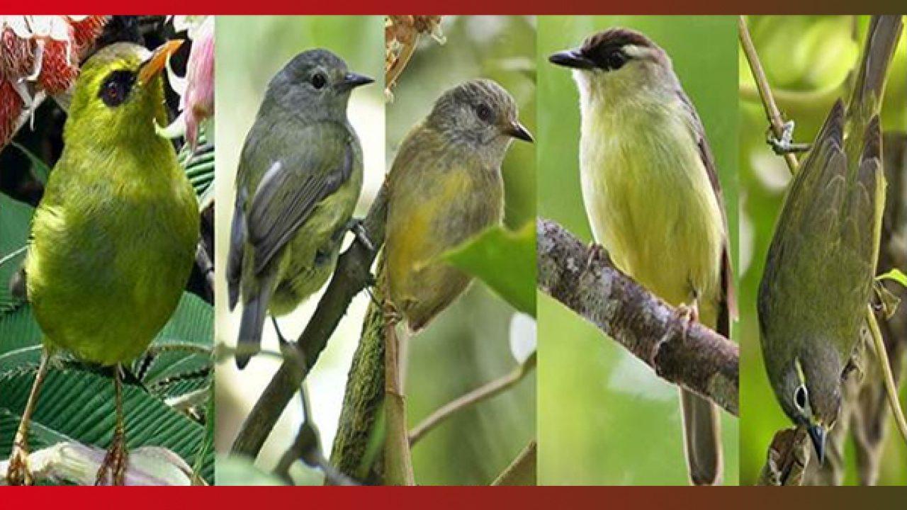68+ Foto Gambar Burung Opior Jawa Jantan Dan Betina  Paling Keren