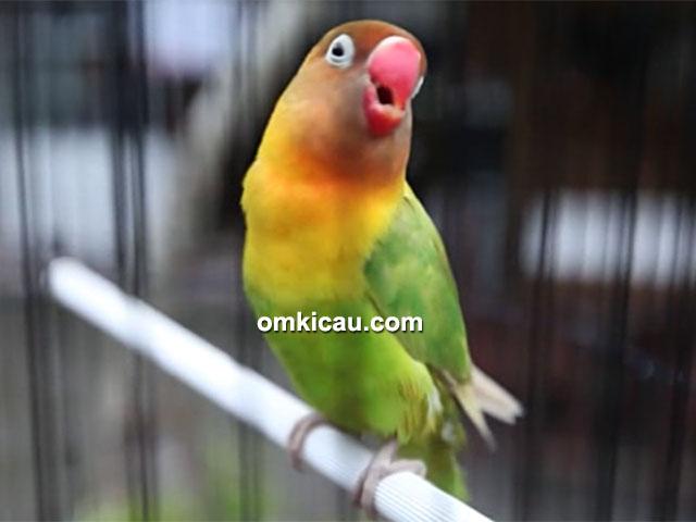 lovebird Kusumo