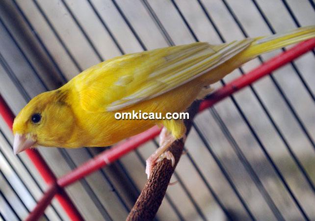 Kenari Freed III