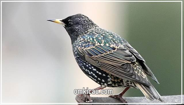 Jalak eropa burung kicauan favorit mancanegara