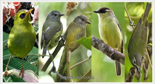 Enam Jenis Burung Opior Dengan Suara Nyaring Dan