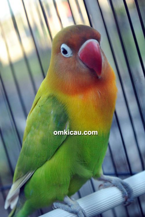 Lovebird Serra