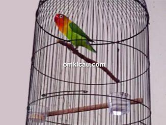 lovebird Ngatiyem