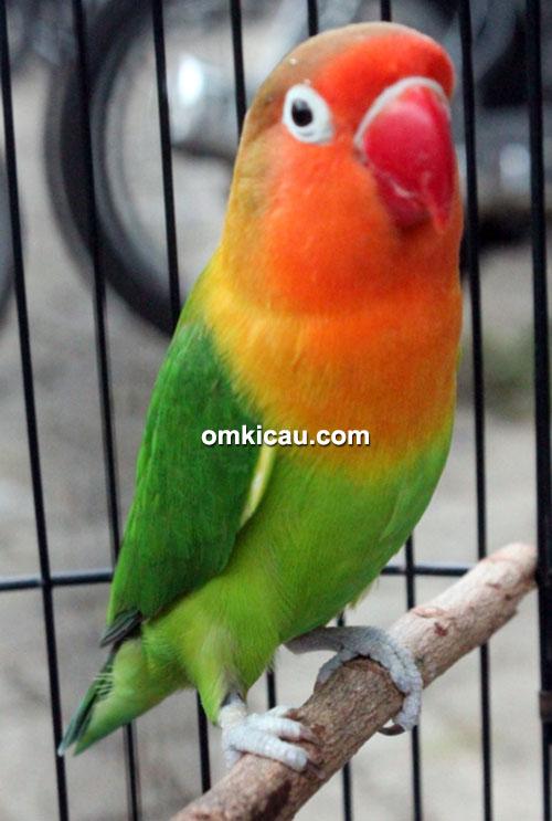 Lovebird Oleng
