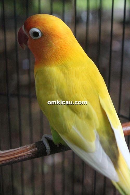 Lovebird Safir